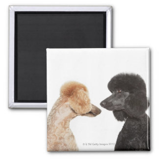 Poodles examining each other magnets