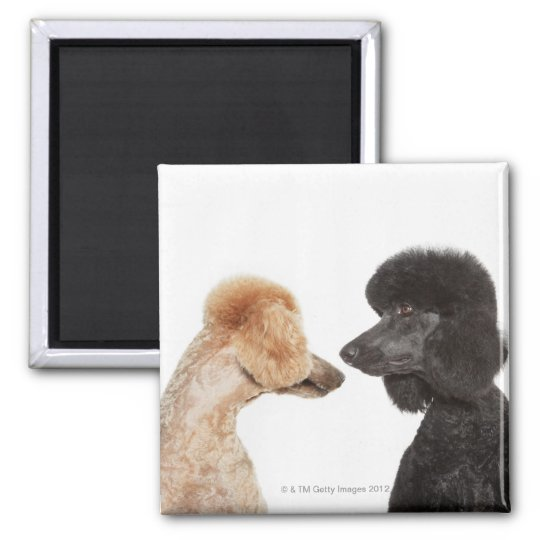 Poodles examining each other magnet