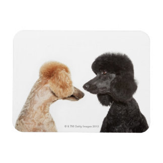 Poodles examining each other vinyl magnet