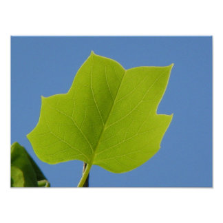 Poplar Leaf Poster