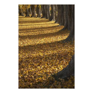 Poplar Trees in Autumn, Lake Wanaka, Otago, Photo Print