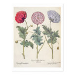 Poppies: 1.Papaver multiplex albumoris rubicundis; Postcard