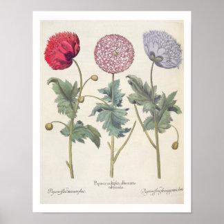 Poppies: 1.Papaver multiplex albumoris rubicundis; Poster