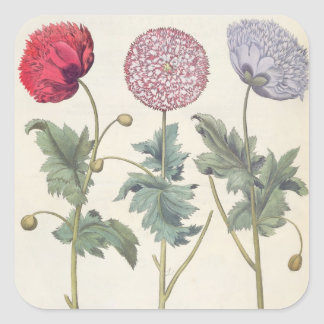 Poppies: 1.Papaver multiplex albumoris rubicundis; Square Sticker