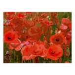 POPPIES 4 POSTERS
