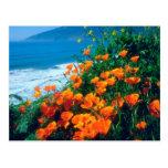 Poppies along the Pacific Coast near Big Sur Postcard