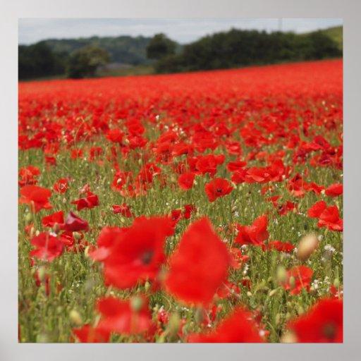 Poppies at Blackrock Farm Posters