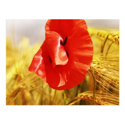 Poppies en the cornfield postal