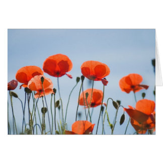 Poppies in a field in Nidd Card