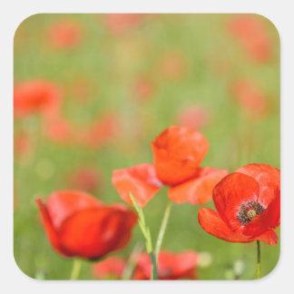 Poppies in a poppy field sticker