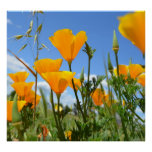 Poppies in Spring Print