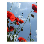 Poppies in Sun - postcard