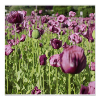 Poppies Purple Flower Blossoms Love Destiny Shower Poster