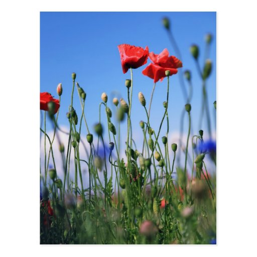 Poppies Tarjetas Postales