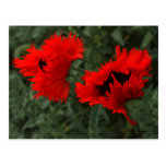 Popping Poppies Postcard