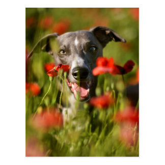 Popping up among the poppies postcard