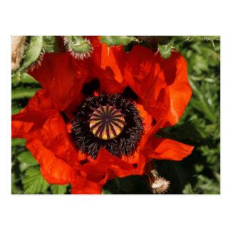 Poppy bloom orange postcard