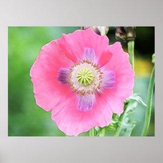 Poppy Bloom - Papaver Somniferum