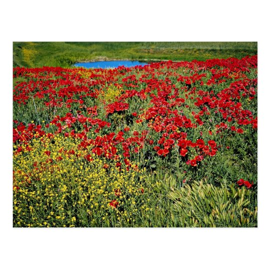 Poppy field, Middle Atlas, Morocco  flowers Postcard