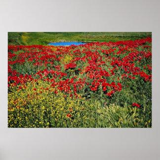 Poppy field Middle Atlas Morocco flowers Poster