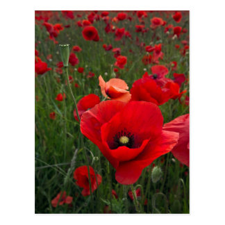 Poppy Field Post Card