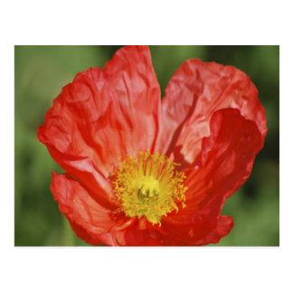 Poppy flower and meaning postcard