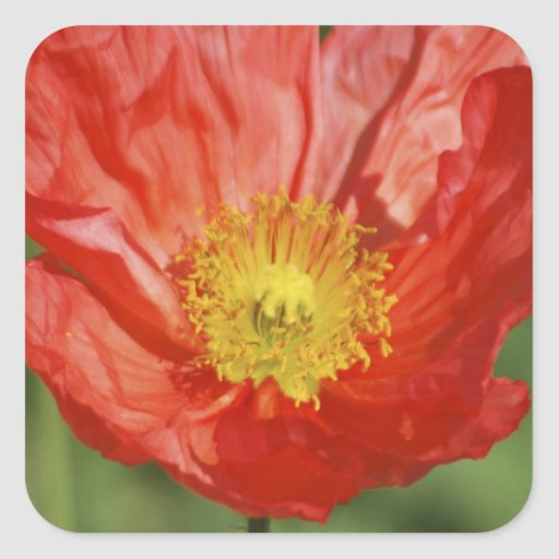 Poppy flower and meaning square sticker