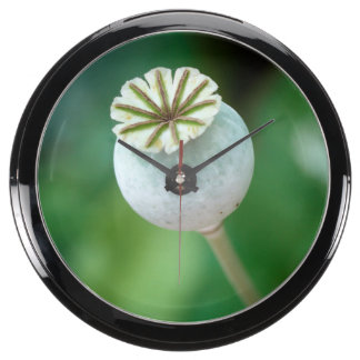 Poppy Flower Head Seed, Western Cape Aquarium Clocks