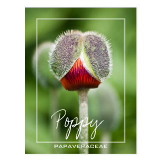 Poppy Flower Of The Papaveraceae Family Postcard