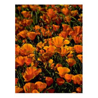 Poppy flowers Pink flowers Postcard