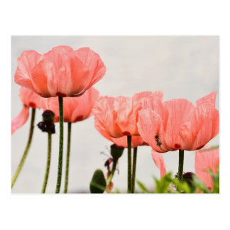 Poppy Picture Postcard