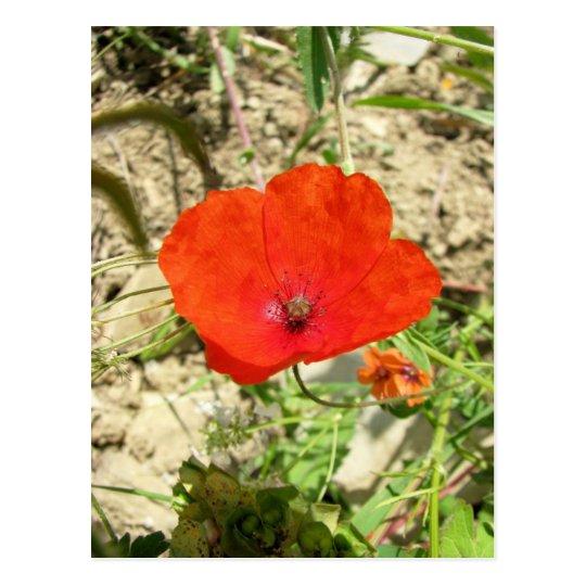 Poppy, Ripertoli Vineyard, Tuscany Postcard