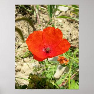 Poppy, Ripertoli Vineyard, Tuscany Poster