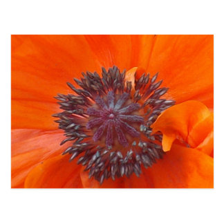 Poppy Seeds Postcard