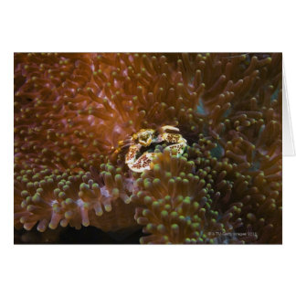 Porcelain crab in sea anemones, North Sulawesi Cards