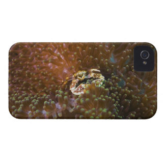 Porcelain crab in sea anemones, North Sulawesi Case-Mate iPhone 4 Case