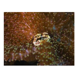 Porcelain crab in sea anemones, North Sulawesi Postcards