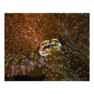 Porcelain crab in sea anemones, North Sulawesi Poster