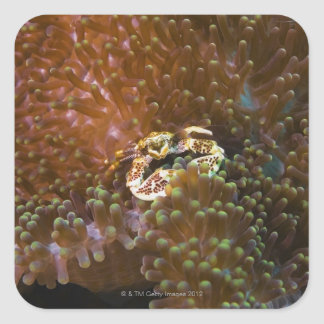 Porcelain crab in sea anemones, North Sulawesi Sticker