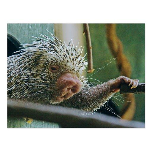Porcupine 2 Postcard