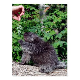 Porcupine Feeding Post Card