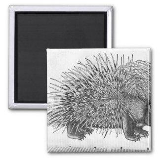 Porcupine, from 'Historia Animalium' 2 Inch Square Magnet