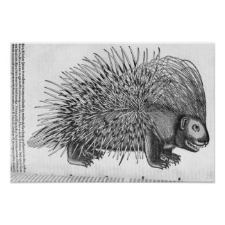 Porcupine, from 'Historia Animalium' Poster