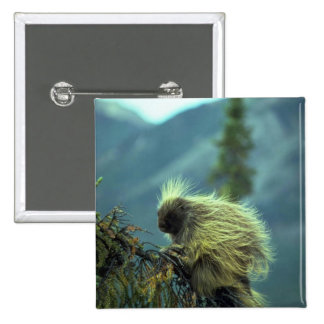 Porcupine in a spruce tree, NWT, Canada 2 Inch Square Button
