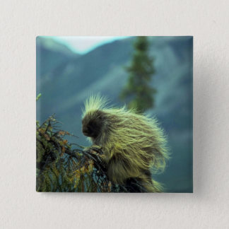 Porcupine in a spruce tree, NWT, Canada Button