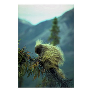Porcupine in a spruce tree, NWT, Canada Posters