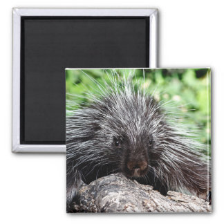 Porcupine Lounging 2 Inch Square Magnet