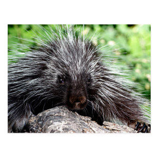 Porcupine Lounging Post Card