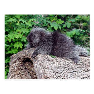 Porcupine Lounging Postcards