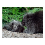 Porcupine - Mom and Baby Post Cards